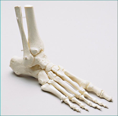 SB48-D Premier Loosely Strung Foot Skeleton with Distal Tibia and Fibula, Right