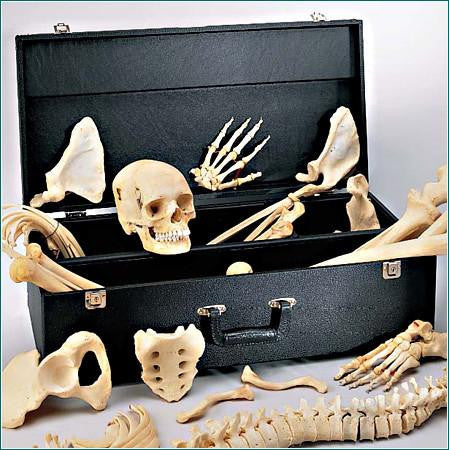 0219-80C Disarticulated HALF Skeleton, Premier 4 part skull and skeleton case