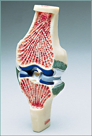 SJ31  Synovial Joint