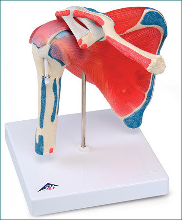 SJ88  Five-Part Shoulder Joint with Rotator Cuff