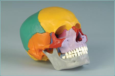 SK18P Premier Take-Apart Modular Skull, 18-piece - Color-coded