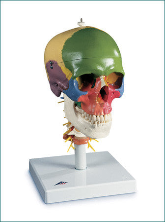 SK202  Classic Didactic Skull on Cervical Spine, 4-Parts