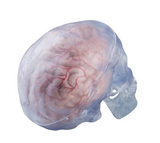 SK262 Classic See-Thru Skull with 5-Part Brain