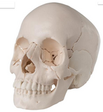 SK29 Beauchene Adult Human Skull Model - Didactic 22 part