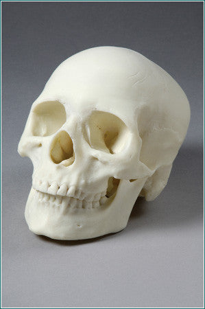 SK33  Two-Piece Female Skull is perfect for Forensic Studies