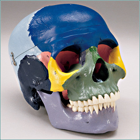 SK56  Female Medical Skull with Major Bones Color-Coded for Easy Identification