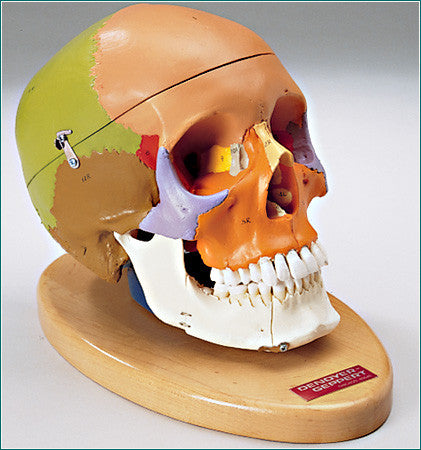 SK80PB Premier Color-coded Teaching Skull on wood base