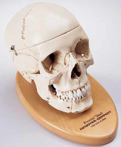 SK80B Premier Skull, 4 part on wood base