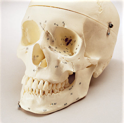 SK82 Premier Numbered Medical Demonstration Skull