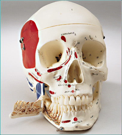 SK83B Premier Medical Demonstration Skull - Hardwood Base - Painted/Labeled Muscle Attachments