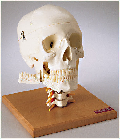 SK84 Premier 4-part Skull on Cervical Spine