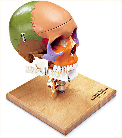 SK85  Premier Color-Coded Teaching Skull on Cervical Spine