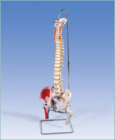 SP583  Classic Flexible Spine with Femur heads and painted muscle attachments