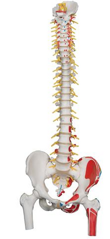 SP587  Deluxe Flexible Spine with femur heads and painted muscle attachments AND STAND
