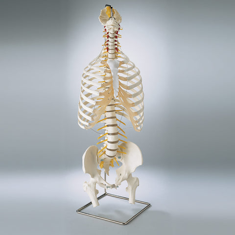 SP64 Premier Flexible spine with thorax and femur heads and stand