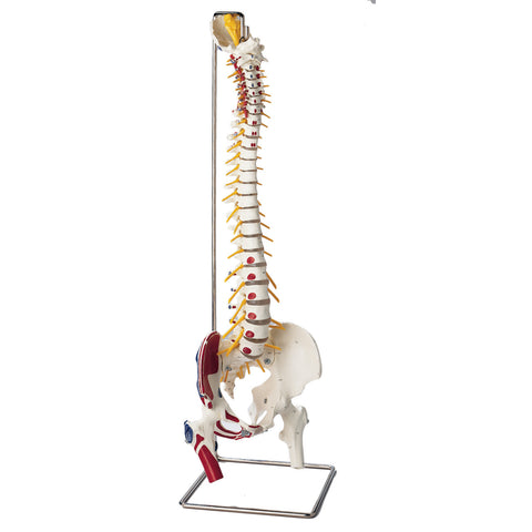 Spine with Muscle Attachments Labeled