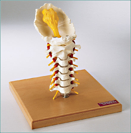 SP66 Premier Flexible Cervical Spine with Nerves and Arteries