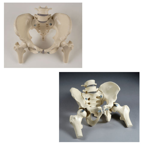 SV623 Premier Male and Female Bony Pelvis Set with femur Heads