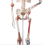 0207-13A All-In-One Super Skeleton, Sacral Mount