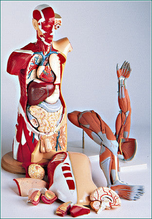 T25  Life-Size Muscular Anatomy Set Featuring the Male and Female Multi-Torso with arm and leg Musculature