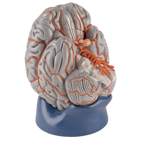 Life-size Hands-on Brain