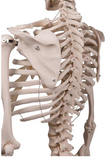 0221-00A Mr. Plain Stan the Skeleton, Sacral Mount