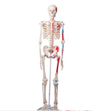 0224-11/1a Painted Skeleton and number coded Muscle Attachments, hanging white stand
