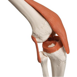 0201-12a Adult Ligamented Skeleton , Sacral Mount white stand