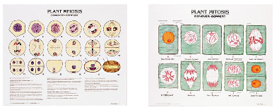 1808-10  Plant Meiosis and Mitosis Poster Set Mounted