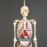 S61SP Premier Special Edition (Stained) Academic Skeleton, hanging mobile stand
