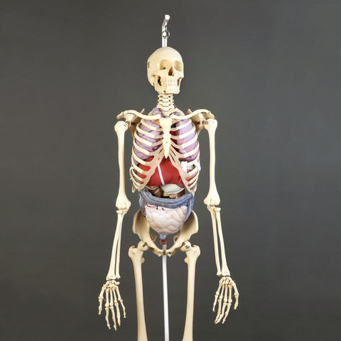 S61-725 Premier Skeleton with soft organ set