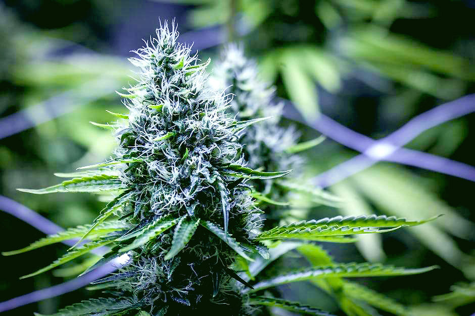 Corona to invest $200 million in Canadian Cannabis grower