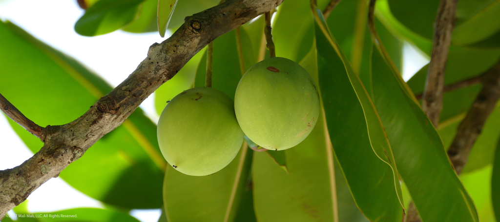 We use tamanu oil because it is the best ingredient for you and your skin