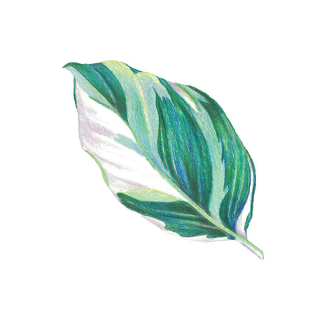 Sticker - Calathea Fusion White