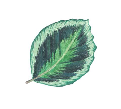 Sticker - Calathea 'Medallion'