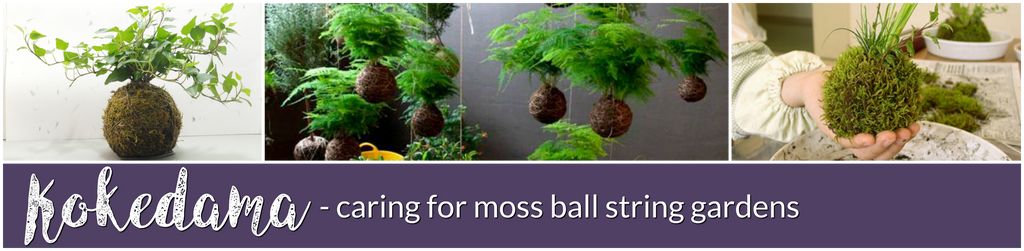 Kokedama caring for moss ball string gardens