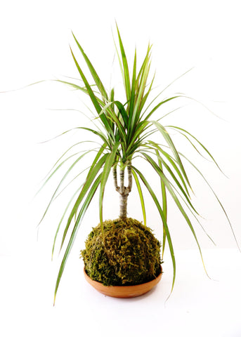 Dragon Tree Kokedama (small)