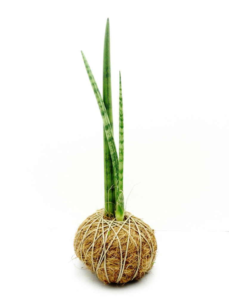 African Spear Plant Kokedama