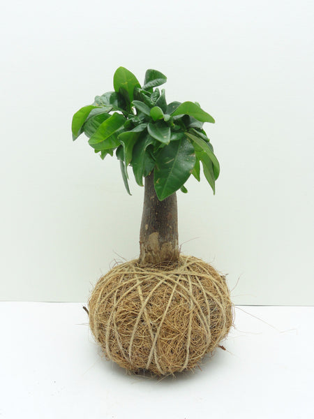 Money Tree Kokedama