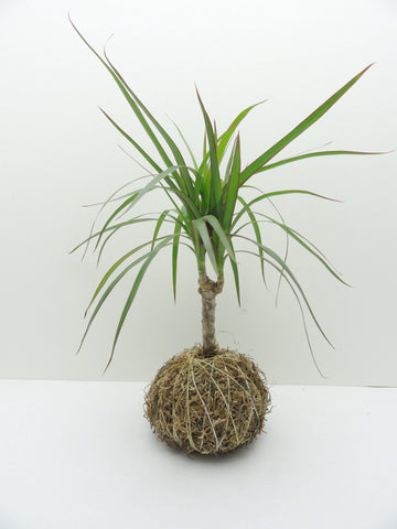 Dragon Tree Kokedama