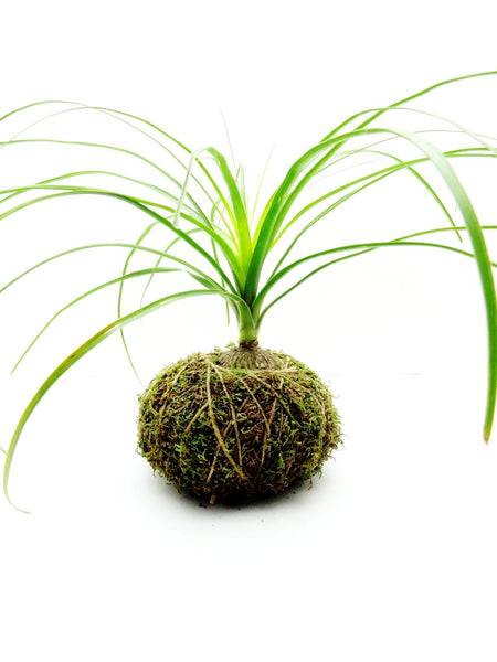 Ponytail Palm Kokedama