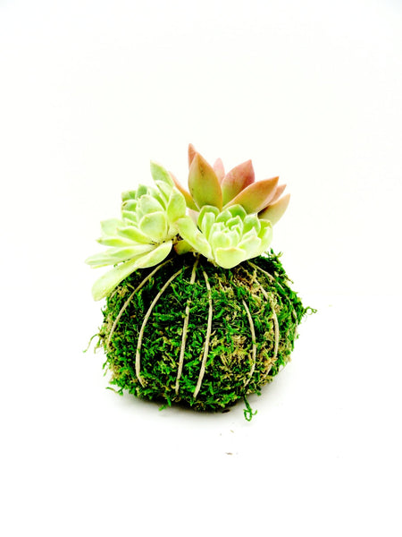 Succulents Kokedama (Small)