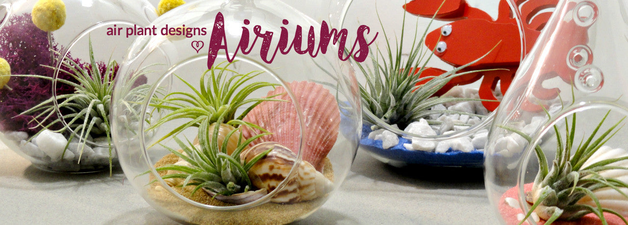 Airiums with Air Plants