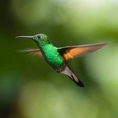 Hummingbird Meaning What Does A Hummingbird Symbolize Woot Hammy