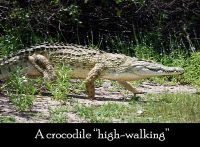 Origins of dragon myth, high-walking crocodiles