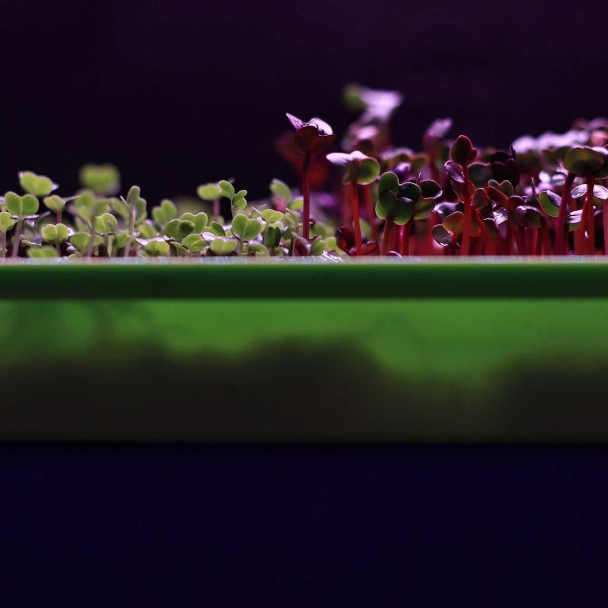 Microgreens grown with lights