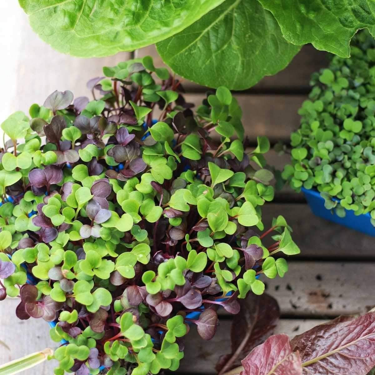Microgreens- How to Combat and Prevent Mold
