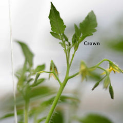 Picture depicting crown of a tomatoe