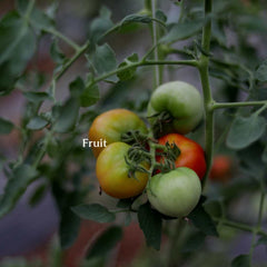 fruiting cluster of a flowering tomato plant