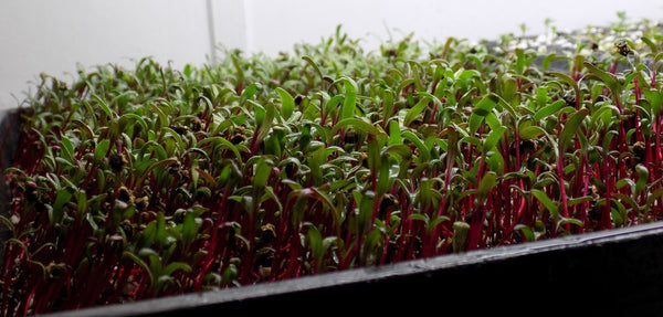 The Best Growing Medium For Microgreens How To Store